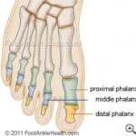 foot-bones-phalanges-metatarsal-small