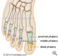 The anatomy of the bones of the foot