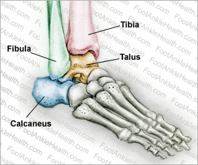the anatomy of ankle bones - what you should know, Human Body